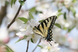 Swallowtail Butterfly on Cherry Flowers